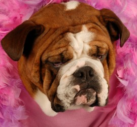 english bulldog surrounded by pink feathers